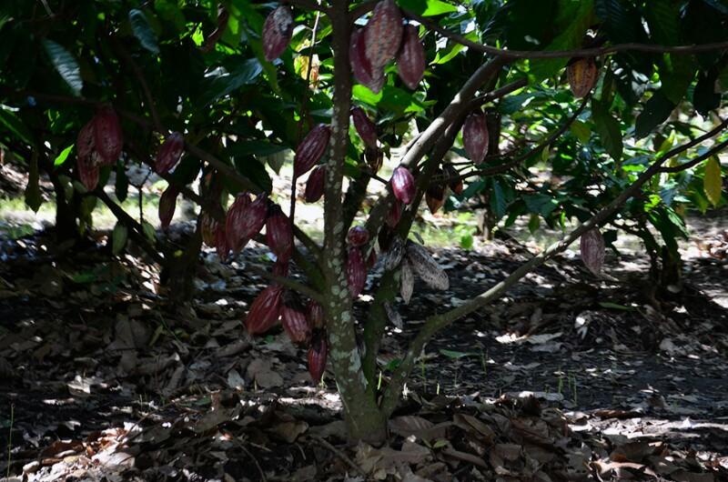 pohon coklat